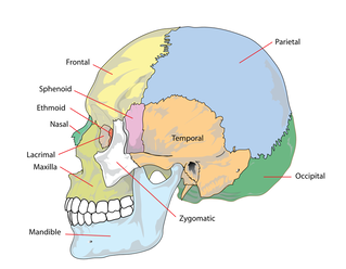 Picture of cranium skull